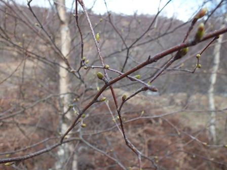 Tromie birch buds just about to open