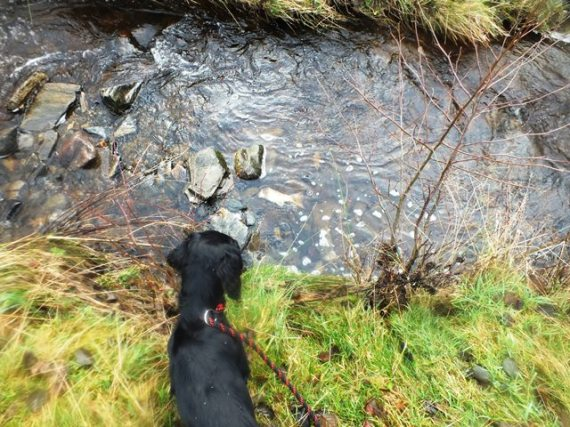 Rogie eyeing up the salmon remains.