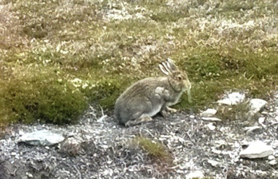 A young white hare in summer coat.