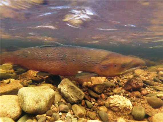 A snapshot from the underwater video, one of several cock fish in the area.