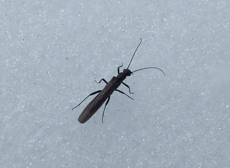 Stonefly or shold that be snowfly. This early hatching specimen was very sluggish on the snow although much more active when on my hand.