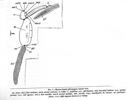 Sketch of mature female gill maggot hanging from the gill.