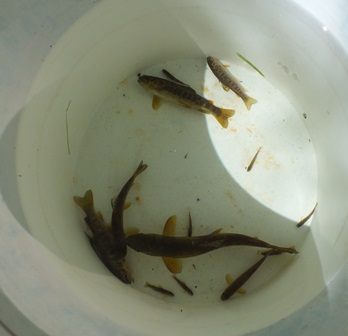 A selection of trout, probably four age classes present, fry, 1+, 2+ and 3+ parr although that is still to be confirmed by scale reading.