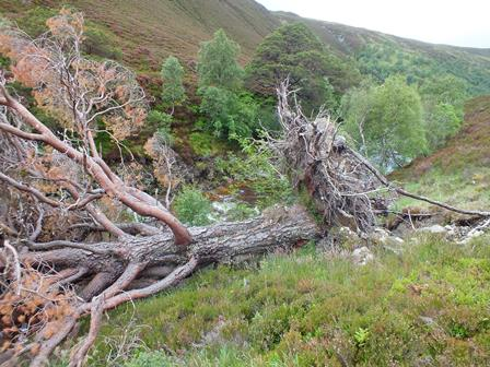 "An old ""granny"" pine, blown over in a northerly gale."