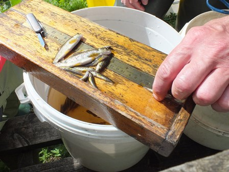 Measuring some of the catch for the Livet.