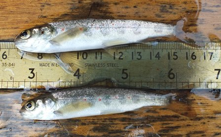 Two lean salmon parr from the upper Avon