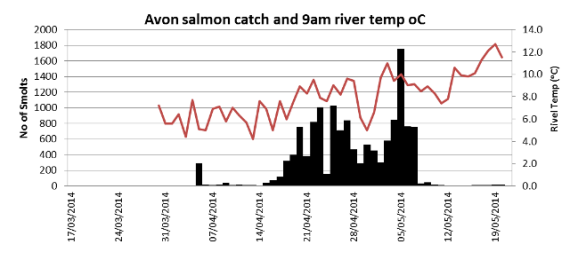 Avon trap salmon catch related to river temperature at 9am
