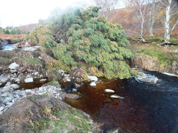 A natural, fully limbed, Scot's pinelodged midstream. Downstream a pool of about 6ft had bene created.
