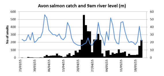 Avon salmon smolt catch related to river level