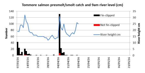 Tommore Burn dily salmon smolt catches to date related to water level