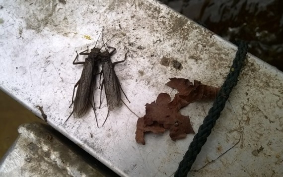 Two large stoneflies rest under the lid of the Avon smolt trap this morning. They are females, the males of thisted wings and limited flying ability,